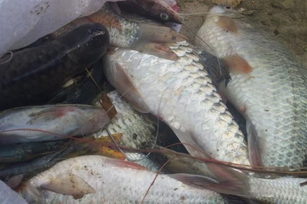 Sei Padang tercemar, ratusan ikan mati terapung
