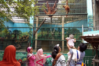 Orangutan Sumatera daya tarik kunjungan ke  THPS