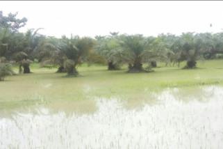 880 hektare tanaman padi di Langkat terendam banjir