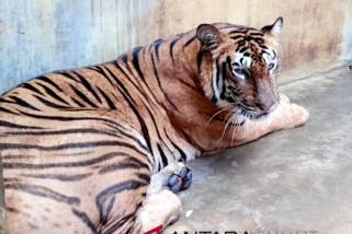 Empat Harimau Benggala penghuni baru THPS