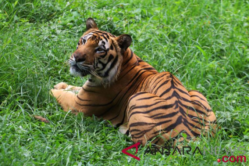 Harimau masuk pasar di Indragiri Hilir